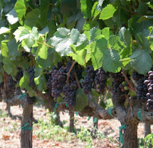 Double L Vineyard Grapes